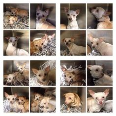 URGENT!!  COURTESY POST: URGENT!!!! SHREVEPORT, LA - These 25 Chi's were seized from a breeder. They have until Friday, March 6, 2015, for rescue's to pull them, or they will be PTS! They are in Shreveport. Can you, or do you know anybody that can help??? CONTACT DIRECTLY: eharris@caddo.org, Ph: (318) 226-6624 Emergency: (318) 226-6801, 1500 Monty Street, Shreveport, LA 71107. PLEASE SHARE…