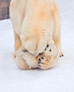 Polar Bear Mama Wrestling with Baby