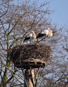 Picture of a stork pair and their nest.
