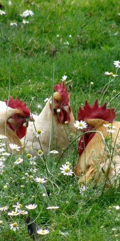 Hen party in the daisies.