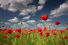 Poppy field by Paniti Márta