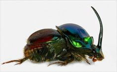 Onthophagus (Proagoderus) tersidorsis Photo by Olga Helmy