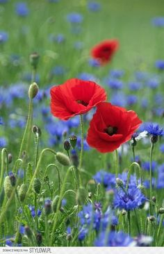 Which spring flowers bloom when? - Corn poppy Papaver rhoeas beautiful spring flowers pictures You are in the right place about garden - Pictures Of Spring Flowers, Flower Pictures, My Flower, Flower Pots, Wild Flowers, Beautiful Flowers, Blooming Flowers, Pastel Flowers, Red Poppies