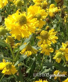 """SNEEZE WEED is the common name for Helenium.  This variety is """"Double Trouble"""". As summer wanes, this flower shines."""