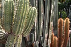 Texas - different colored cacti. Cacti, Cactus Plants, Beautiful Color Combinations, Photo Series, Succulents, Texas, Green, Cactus, Succulent Plants