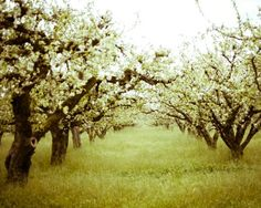 i will get married in a blooming apple orchard, it's been my dream forever(: