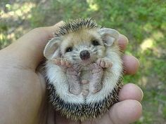 baby echidna ! I need to go to Australia!  those little feet
