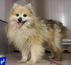 SUPER URGENT TYRONE – A1067977 **SENIOR ALERT*   MALE, BROWN / TAN, POMERANIAN / AMER ESKIMO, 13 yrs STRAY – STRAY WAIT, NO HOLD Reason STRAY Intake condition EXAM REQ Intake Date 03/19/2016, From NY