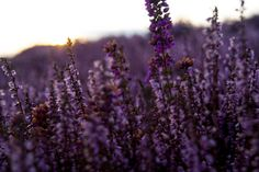 Springtime heather on Conwy mountain by Glanfor on Etsy