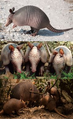 The 9 banded Armadillo is not native to Florida. They have bony plates (actually made of bone) that cover its legs, head and body (everything except the ears & belly). They have nine, flexible bands across the midsection, which allows it to be relatively nimble.They range in color from brownish-black to gray. The ears are very long & its snout is long and pig-like. It has short, stout legs with sharp, curved claws used for digging. They have peg-like teeth in the back (no front teeth).