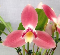 Orchid-Macro of Lycaste Royal Flush (Malibu Canyon x Koolena) - Flickr - Photo Sharing!