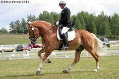Finnhorse stallion Anisian Alvar