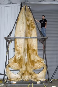 A blue whale skull measuring 19 feet (5.79 m) in the collections of the Smithsonian Museum of Natural History