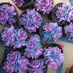 Here you can see some of the worlds most stunning purple succulents around. Explore all the different types of purple succulents out there! Succulent Seeds, Succulent Gardening, Planting Succulents, Planting Flowers, Succulent Plants, Succulent Garden Ideas, Garden Pots, Succulent Landscaping, Succulent Containers