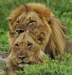 Lion Love on Google+