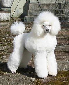 Airy Arabeska Lancelot - Poodles in Scandinavia Standard Poodles For Sale, Poodle Cuts, Pets 3, Purebred Dogs, Scandinavian, Miniature, Heaven, Creatures, Puppies