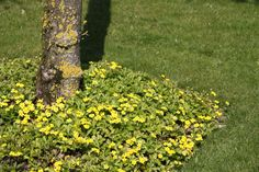 Waldsteinia ternata - Waldsteinia. gele aardbei - De Tuinen van Appeltern