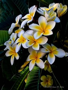 Frangipani (plumeria)-my sister & I used to make lei's out of these when we…