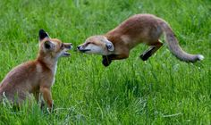 """ Young fox cubs play in Germany. Nature Animals, Animals And Pets, Baby Animals, Funny Animals, Cute Animals, Funny Foxes, Nature Nature, Wild Animals, Beautiful Creatures"