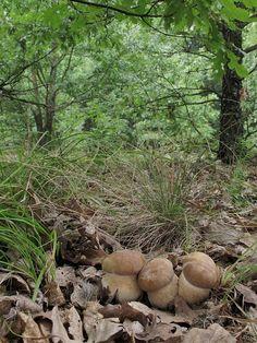 hríb dubový Boletus reticulatus Schaeff.