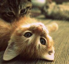 Bild via We Heart It https://weheartit.com/entry/173981381 #cute #fluffy #funny #kitten #kitty #lovely