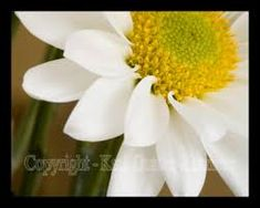Image result for flower daisy photos