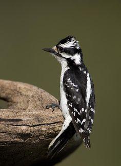 Female Downey Woodpecker by Gerald Marella