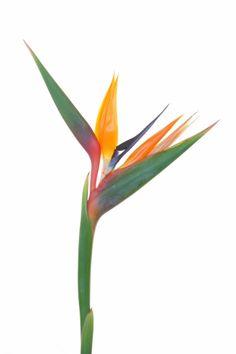 ideas bird of paradise tattoo plants for 2019 Bird Of Prey Tattoo, Bird Of Paradise Tattoo, Feather With Birds Tattoo, Red Bird Tattoos, Birds Of Paradise Flower, Plant Illustration, Botanical Illustration, California Poppy, Bird Silhouette