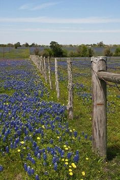 BLUEBONNET.....the Texas state flower....designated in 1901....Texas has also designated an official bluebonnet tartan, bluebonnet city (Ennis, Texas), bluebonnet trail, bluebonnet festival (Chappell Hill Bluebonnet Festival), and bluebonnet flower song