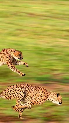 Foto: GUEPARDO (Acinonyx jubatus) El guepardo, también llamado chita, es un miembro atípico de la familia de los félidos. Es el único representante vivo del género Acinonyx. Caza gracias a su vista y a su gran velocidad. Es el animal terrestre más veloz, alcanzando una velocidad punta entre 95 y 115 km/h en carreras de hasta 400-500 metros.