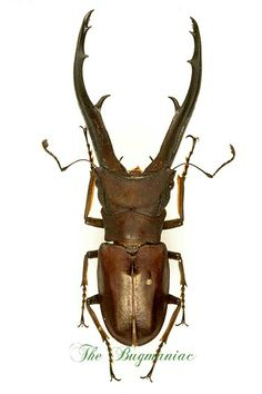 Lucanidae-Cyclommatus-imperator-pair-73mm-male_1471611261861.jpg (377×567)