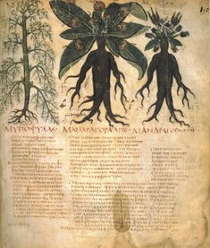 "Mandrakes from the 7th century herbal manuscript ""Naples Dioscurides"" from.. SOLANUM: THE POISON PLANTS OF WITCHCRAFT by Sarah Anne Lawless"