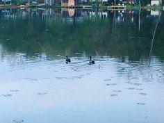 Two ducks parading around the lake at Lake Kandle.