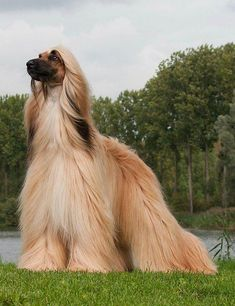 best images, photos and pictures ideas about afghan hound dog - oldest dog breeds Big Dogs, Large Dogs, I Love Dogs, Cute Dogs, Small Dogs, Hound Puppies, Hound Dog, Dogs And Puppies, Doggies