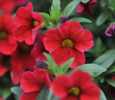 "Petunia 'Calibrachoa Aloha Kona Cherry'.  Aloha Calibrachoa display a semi-upright habit, big tropical colors and large flower heads making this series the Big Kahuna for combos and containers! Within the series, varieties with the ""Tiki"" designation display a dark red center on the flower. c."