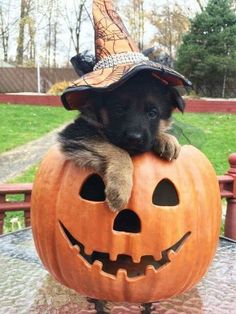 Things we admire about the loyal German Shepherd Puppies Animals And Pets, Baby Animals, Funny Animals, Cute Animals, Cute Puppies, Cute Dogs, Dogs And Puppies, Doggies, Corgi Puppies