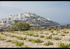 The bush-like vineyards at least formal winery in Santorini, or anywhere