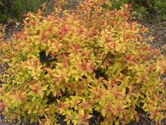 Goldflame Spirea, a low growing shrub of 2.5' with attractive red-orange leaves in spring, maturing to yellow with red tips and pink flowers in early summer. Foliage turns  red in the fall. Looks great paired with evergreens and purple foliage shrubs.