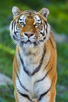 Heterochromia Shows Up In Big . is listed (or ranked) 4 on the list Stunning Photos Of Animals With Heterochromia Beautiful Cats, Animals Beautiful, Cute Animals, Wild Animals, Funny Animals, Beautiful People, Funny Cat Pictures, Cool Pictures, Big Cats