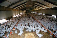 6 lat. Tyle średnio może żyć kura. 6 tygodni. Tyle trwa życia brojlera, czyli kurczaka hodowanego na mięso. Po tym czasie zwierzę zbyt wolno przybiera na wadze w stosunku do spożywanej paszy, a więc w oczach hodowcy staje się nieopłacalne.
