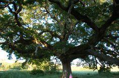 La Quercia delle Checche. Un albero di dimensioni mastodontiche.