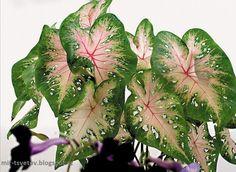 Мир растений: Ароидные - неприхотливые и благодарные комнатные растения