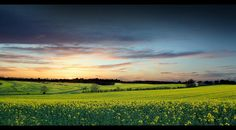 Rapeseed Spring Sunset [Explore #7 & Front Page] by RobbieB88, via Flickr