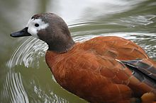 South African Shelduck This is a 64 cm long bird which breeds in southern Africa, mainly in Namibia and South Africa. In the southern winter, many birds move north...