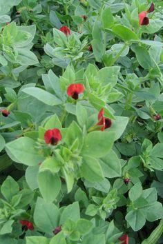 Aspargesært har været dyrket i Norden siden 1600-tallet. Blomsterne kan drysses på en salat, og bælgene dampes let eller blancheres og spises hele. Du bider/sutter det bløde kød af bælgene. Kan sås maj-juni.