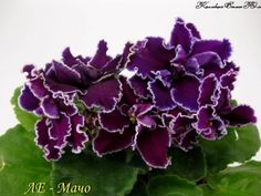 Сенполии ЛЕ-Мачо Saintpaulia, All Things New, African Violet, Plantar, Houseplants, Indoor Plants, Ukraine, Gardening, Creative