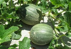 Growing melons, lots of melons. Tips on growing cantaloupe, honeydew ...