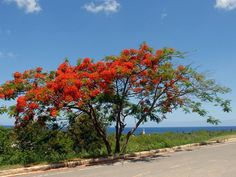 Falmboyant tree (Delonix regia) Rincón lighthouse in the background Delonix Regia, Puerto Rico Usa, Puerto Rican Culture, Enchanted Island, Places Of Interest, Puerto Ricans, Mauritius, Beautiful Islands, Caribbean