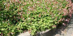 """Geranium macrorrhizum """"Ingwersen"""" - bodembedekker - halfschaduw / zon - winterhard - geurend blad - hoogte 30 cm"""