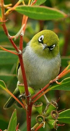 "Silvereye or waxeye.............OH! IT'S YOU AGAIN.......WHADDA YA WANT THIS TIME???""............ccp"